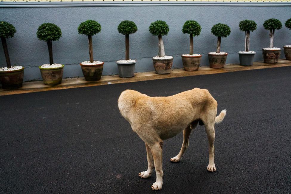 """Tavenpong a Miami Street Photography fesztiválon díjnyertes """"fejetlen kutya"""" című képe sem jöhetett volna valószínűleg létre, ha a thai főváros nem küzdene egy másik komoly problémával, több százezer kóbor kutya formájában. A thai járványügyi és állatorvosi hivatal becslése szerint úgy 700 ezer kóbor kutya él az országban, ebből úgy 100-300 ezer pedig Bangkok utcáit és sikátorait járja."""