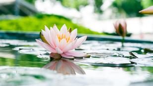 A tavi növények egy része simán átteleltethető a tóban. És van, ami nem.
