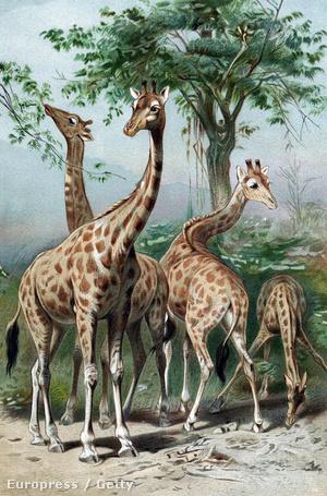 Nyakukat nyujtogató zsiráfok Lamarck egyik illusztrációján