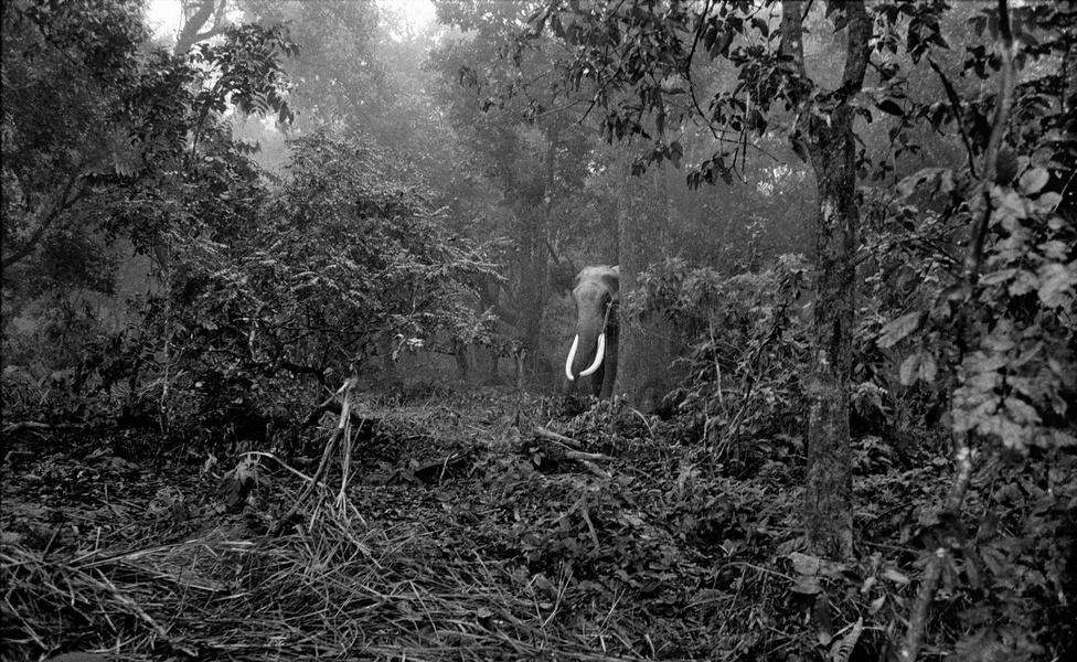 Nem mondható ez el azonban az ázsiai elefántról, amikről az indiai születésű, jelenleg Hongkongban élő Palani Mohan készített csodálatos fotósorozatot. Mohan hat éven keresztül járta Indiát és a környező országokat, hogy megörökítse az elefánt és ember ambivalens viszonyát és felhívja a figyelmet arra, hogy mekkora veszélyben vannak ezek az állatok.