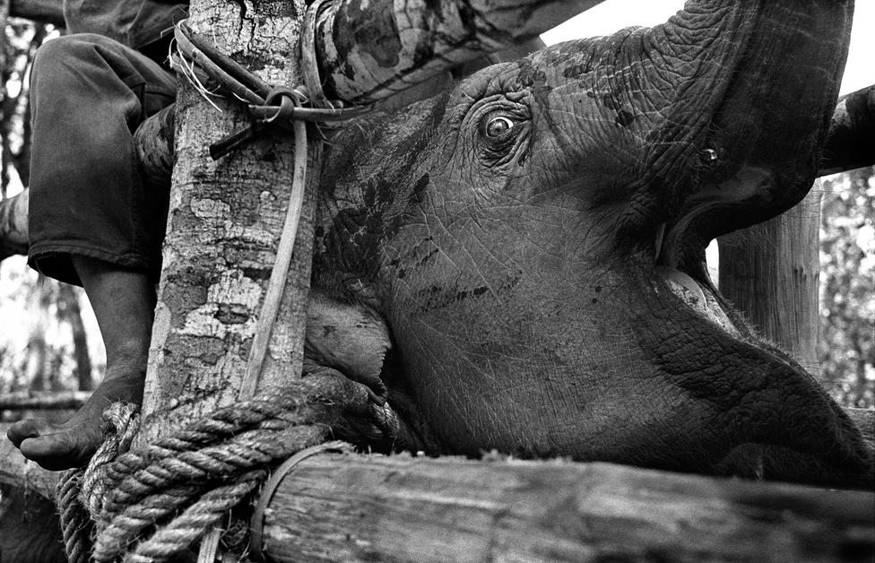 Az ázsiai elefánt egyedszáma mára 40 ezer alá csökken és rohamosan fogynak miután természetes élőhelyük folyamatosan zsugorodik.
