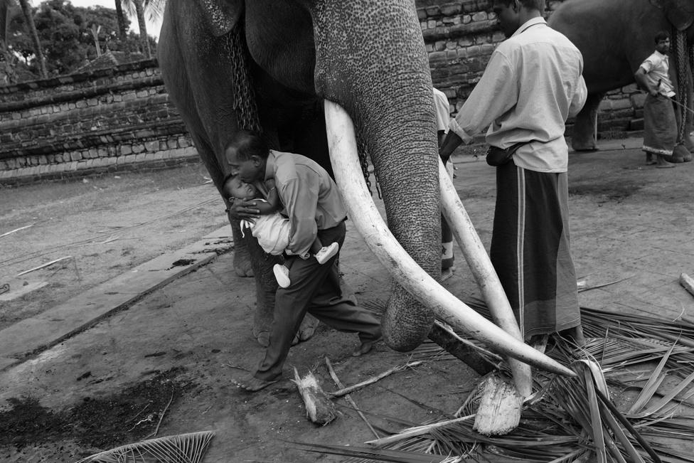 Mivel szinte az ősidők óta munkára fogják, és Ázsia nagy részén a vallásban is nagy szerepe van, nagyon sokan tartanak háziasítva elefántot. Becslések szerint nagyjából 15 ezer domesztikált elefánt él Ázsia szerte embereknél.