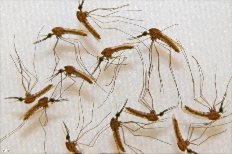 Maláriát terjesztő szúnyogok.
