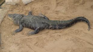 Cukiság: Nem megölni akar, csak udvarol az aligátor
