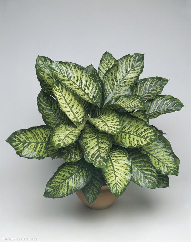 Diffenbachia                         A diffenbachiák népszerű cserepes növények, amit látványosságuknak, és teherbírásuknak köszönhetnek. Aki a virágokat is szereti nézegetni, annak ezzel a növénnyel nem lesz szerencséje, mert csak nagyon ritkán virágzik, és akkor is érdemes inkább levágni róla, mert sokat árt a növénynek, nagyon meggyengíti. A buzogányvirág néven is ismert szépség remekül viseli a félárnyékot, és leveleivel színt csempész a lehangoló szobákba is.