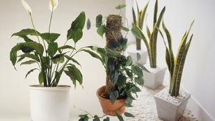 10 növény, amit sötétebb szobákba is bátran tehet