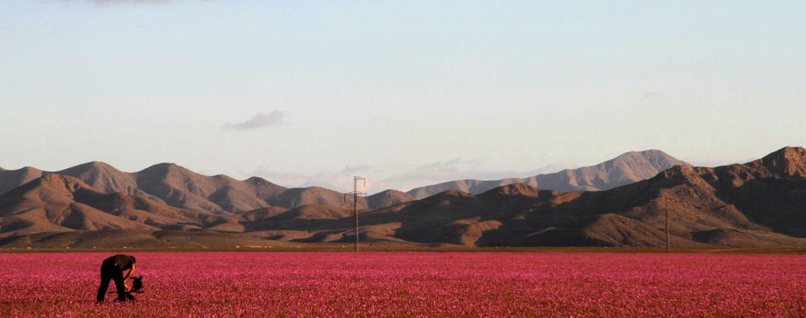 Atacama virágzás