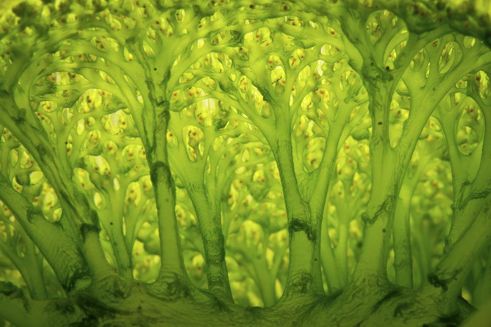 Mesél az erdő (Kompozíció, forma és kísérletezés 3. díj)A kívül fehér, belül zöld színű zsákállatok (Didemnum molle) kolóniái gyakran előfordulnak a trópusi tengerekben. Ez a felvétel egy áramlástól védett helyen készült, ellenfénytechnikával, a lehető legnagyobb nagyítással a zsákállat belsejéről.