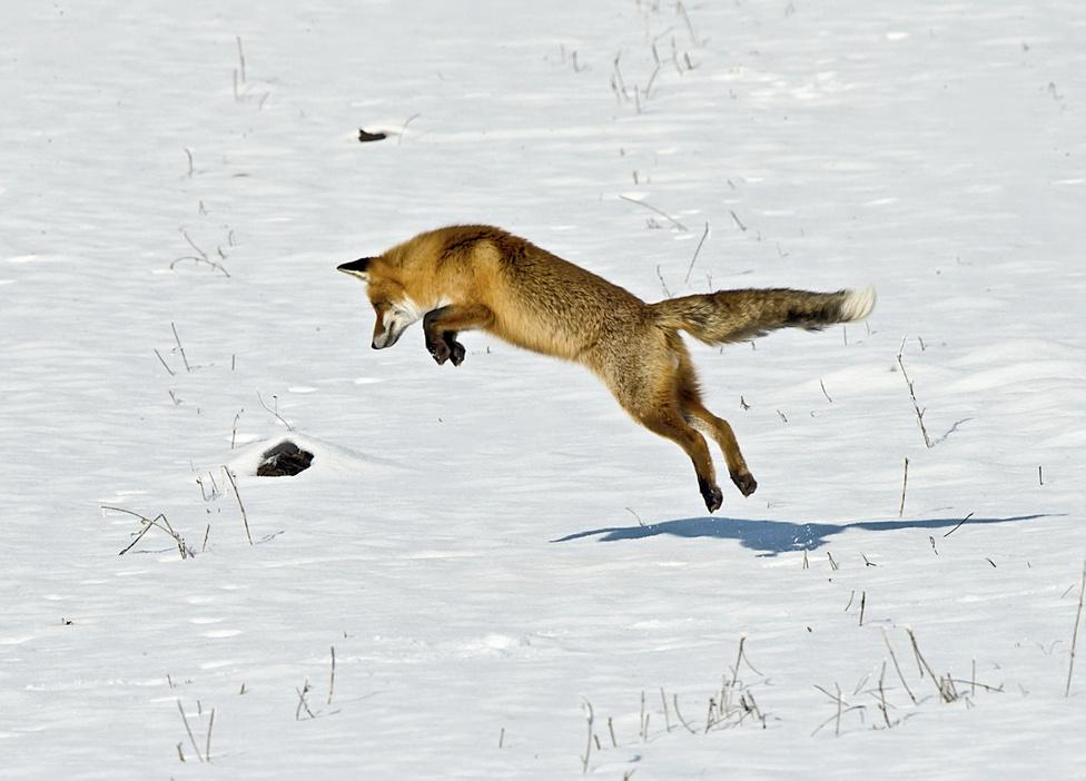 A nagy ugrás (Az emlősök viselkedése kategória)A képen egy hóban lenyűgöző ügyességgel egerésző róka látható.