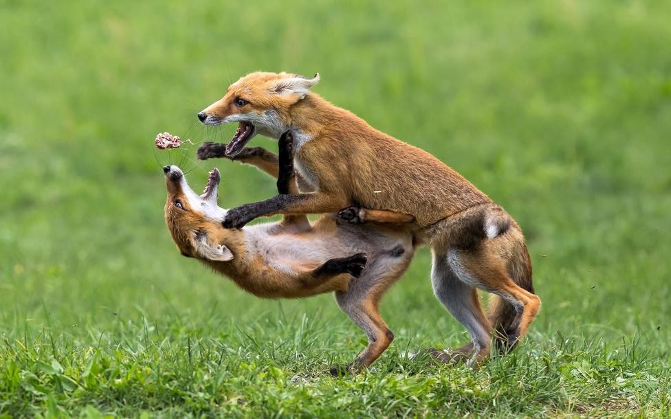Gladiátorok (Az emlősök viselkedése kategória 2. díj)A képen látható rókák élelemszerzés és táplálkozás közben csaptak össze, hogy az egyik elvegye a másiktól a már félig megrágott belsőséget. A harc hevében – ami gyors és elég intenzív volt – sikerült megörökítenem azt a pillanatot, amikor a megtámadott róka szájából szó szerint kirepült a zsákmány.