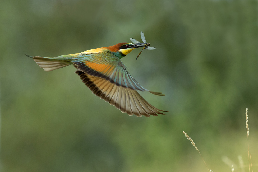 """Szitakötőt fogtam (A madarak viselkedése kategória)Ennek a fotónak az elkészültét hosszas megfigyelés előzte meg. Napokig figyeltem a gyurgyalagot, ahogy táplálékot hord fiókájának a költőüregbe. Majd a megfelelő távolság és háttér kiválasztása után már """"csak"""" ki kellett várni, hogy a madár, szitakötővel a csőrében, megfelelő pozícióban a képbe repüljön. A fotó lessátorból, körülbelül 13 méter távolságból készült."""