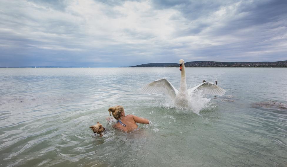 Elemi ösztön (Kezünkben a Föld 3. díj)                         Aznap megtanultam, hogy minden állatnak és embernek megvan a helye és területe földünkön, és ezt tiszteletben kell tartani. A hattyú fiókáival messze távolban úszott. Gondoltam, én is úszom a kutyámmal a part mentén. Állványra tettem a fényképezőmet, komponáltam, és csobbantunk a Balatonba. Valószínűleg a kutya izgathatta fel a tojót, mert szemvillanás alatt termett a hátunk mögött. Támadott. Védte a kicsinyeit. Elemi ösztönből én is támadtam, hiszen védtem a kutyámat. Az önkioldásra beállított gépem pedig rögzítette a mama-gazda harcot. Egyetlen expozíció, egy meg nem ismételhető pillanatról, amit soha többé nem akarok átélni.