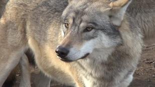 A farkaskilövő Szatyor lemondását követelik