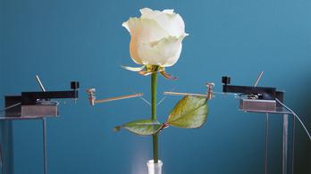 Hatmillió dollárba került az első kiborg rózsa