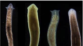Másik faj fejét növesztette ki az átdrótozott laposféreg