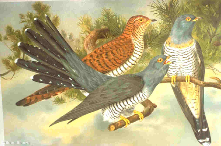 A kakukk egy régi természetrajzkönyvben