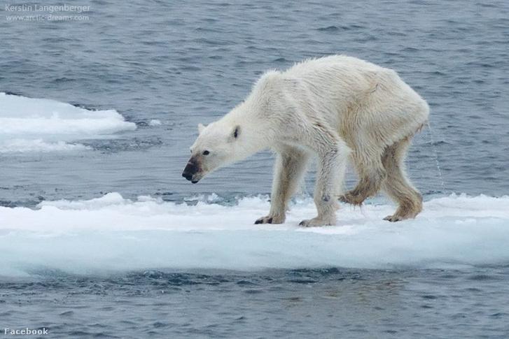 A csont és bőr jegesmedve a globális felmelegedés új címerállata