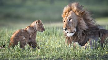 Az afrikai oroszlánok is veszélyeztetettek lettek