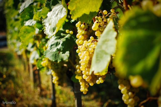 Érik a szőlő Tarcalon