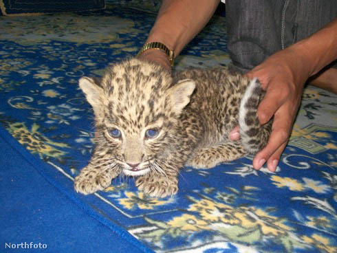 tk3s bm leopard cubs 02404142