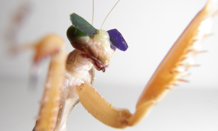 mantis-insect-wearing-glasses