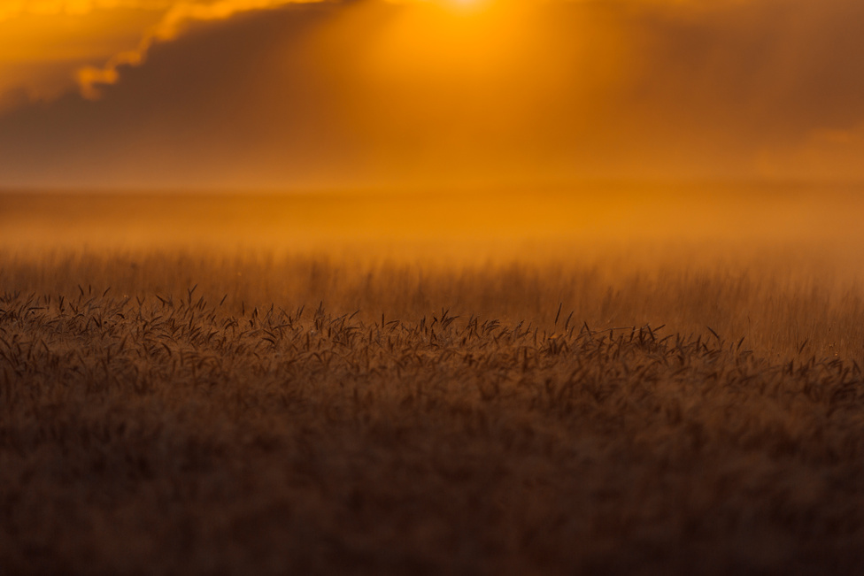 A júliusi forróságban szinte megáll a levegő, a kombájnok által felvert por pedig ott marad a betakarítatlan búza felett.