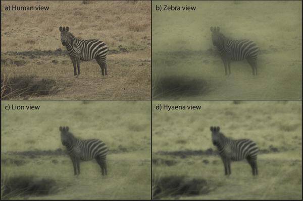 Valahogy így látják a zebrákat a különféle ragadozók és az ember.