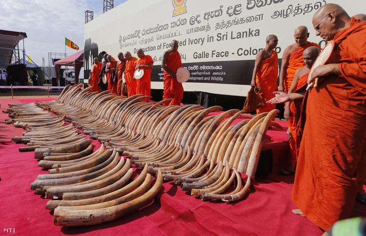 Srí Lanka-i buddhista szerzetesek az orvvadászat ellen és az elpusztított elefántok lelkéért tartott közös imádságra készülnek megsemmisítésre váró afrikai elefántagyarak mellett a Srí Lanka-i Colombo egyik parkjában 2016. január 26-án. A 359 agyarból álló mintegy másfél tonnás Afrikából érkezett hajórakományt amelynek becsült eszmei értéke 25 millió dollár (722 millió forint) 2012-ben foglalta le a helyi vámhatóság a nagyváros kikötőjében.