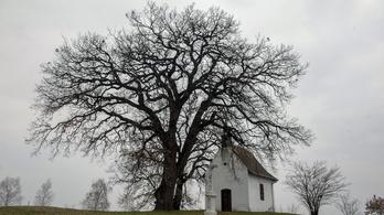 Szavazzon, hogy a bátaszéki molyhos tölgy legyen az európai év fája!