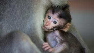 Mi szükség van 12 autista majomra?