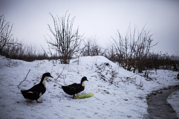 Kacsák a háztáji kis gazdaságban Andiéknál