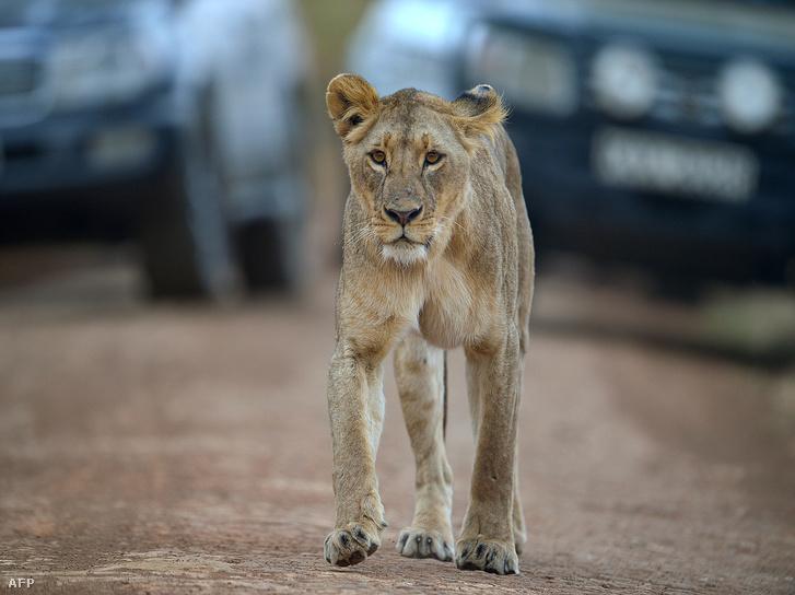 Oroszlánkölyök a Nairobi Nemzeti Parkban 2015 augusztusában