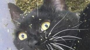 Betépett a macska a macskamentától