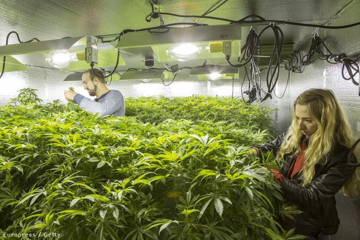Legális ültetvény Washington államban