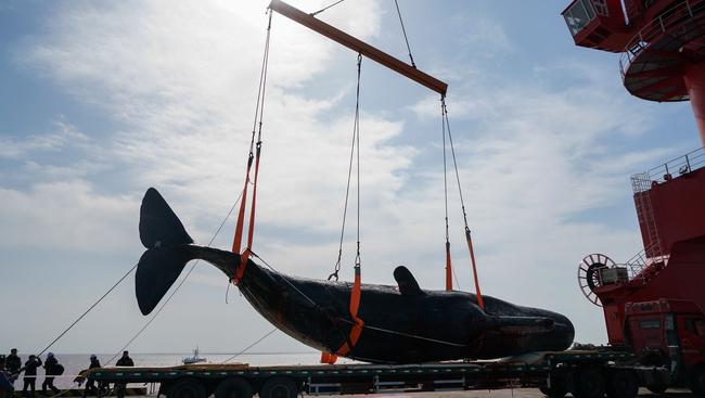 41 tonnás bálnát tartósít egy kínai múzeum