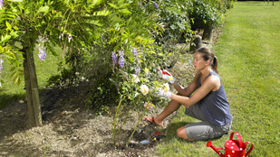 Ne maradjon le a rózsák metszéséről, mert sokat árthat vele!