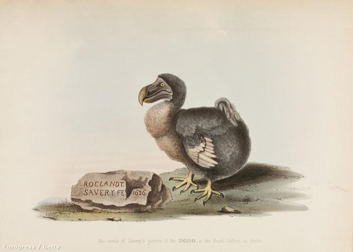 1626-ban ilyennek látták a dodót, akik még láthatták
