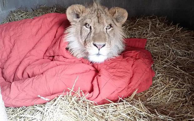 lambert-lion-1 3601532b