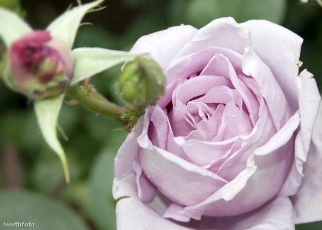 Rózsaünnep