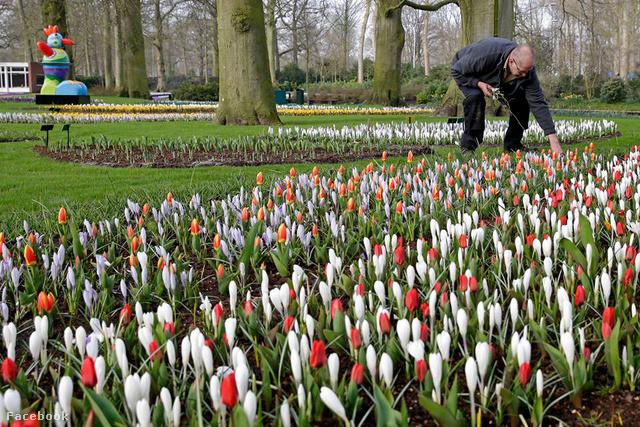 Kertész a Keukenhofban 2016-ban, a nyitás napján. Bár már most is kibújtak, a tulipánok április végén-május elején lesznek a legszebbek