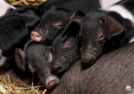 swns pig litter 020023364