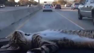 Bármennyire is cuki, ne tegye a macskáját a műszerfalra