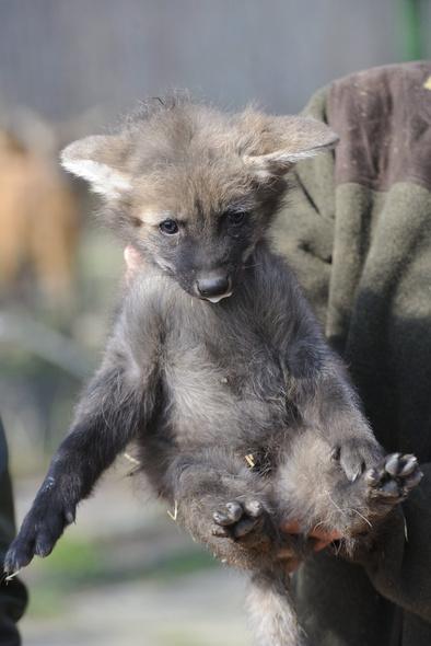 Sörényes farkaskölyök