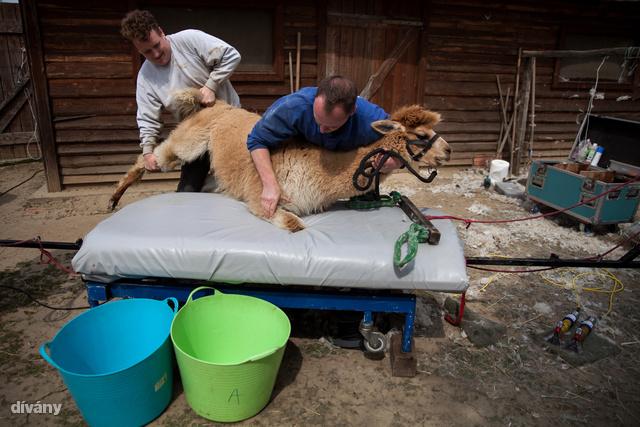 Kevin Hamstra(balra) és társa nagyjából 10 perc alatt végeznek egy állattal.