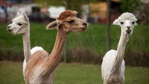Az állat, ami nem is tudja, hogy luxusalapanyag