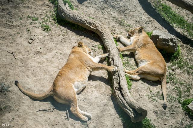 Pihenő oroszlánok