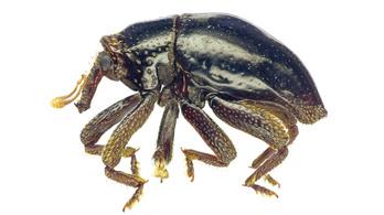 Csubakkának neveztek el egy újonnan felfedezett bogarat