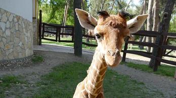 Elpusztult a debreceni állatkert kis zsiráfja