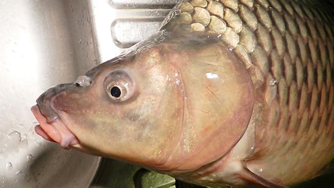 Így kerülhetne újra balatoni hal a helyi éttermekbe