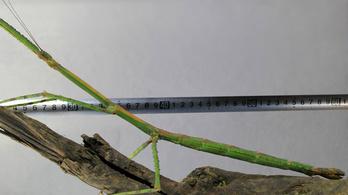 Több mint 60 centis sáskát találtak Kínában